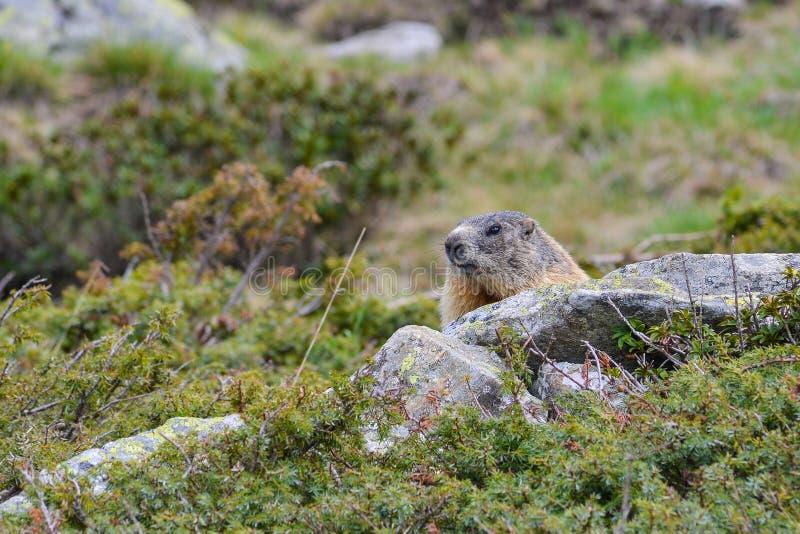 Groundhog en una roca imagen de archivo