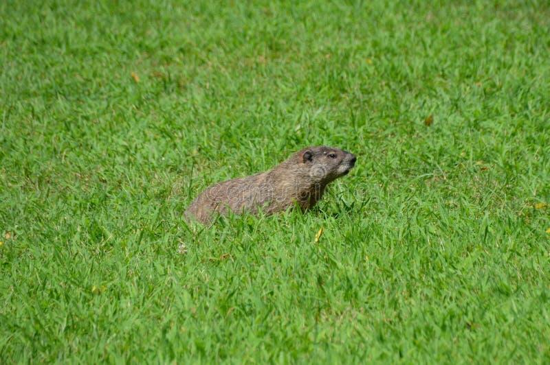 Groundhog in gras royalty-vrije stock foto
