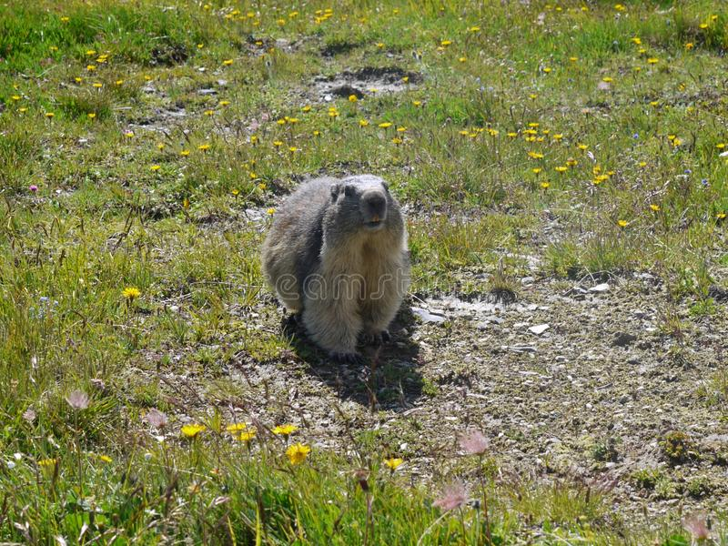A groundhog on guard duty. In the French Alps Savoie royalty free stock photos