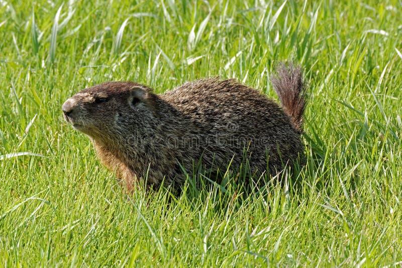 Groundhog in het gras stock foto's