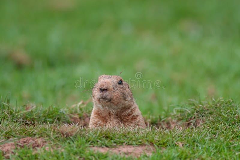 Download Groundhog stock image. Image of alert, hair, head, crescent - 35434355