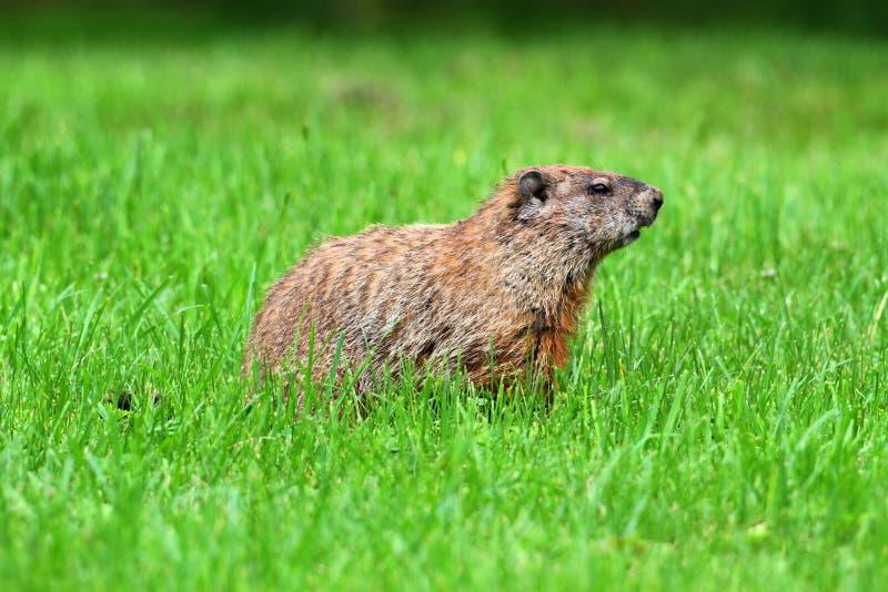groundhog marmota monax στοκ εικόνες με δικαίωμα ελεύθερης χρήσης