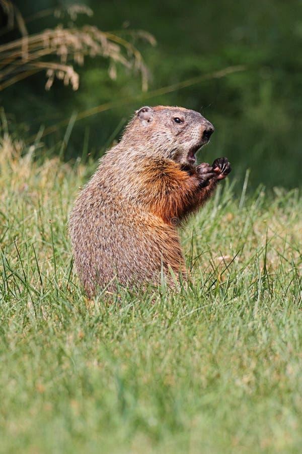 Groundhog (Marmota monax) royalty free stock photography