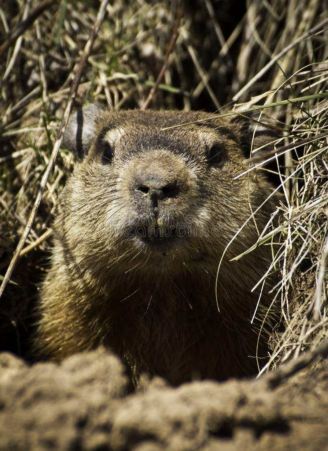 Groundhog (Marmota monax) lizenzfreie stockbilder