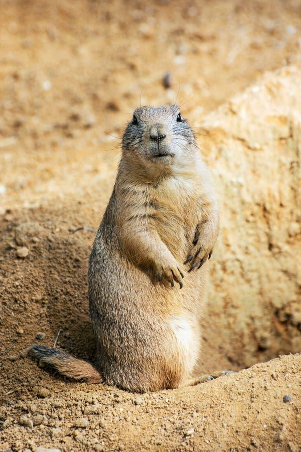 Groundhog (marmota monax) στοκ φωτογραφία