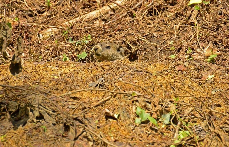 Download Groundhog (marmota monax) obraz stock. Obraz złożonej z owadożerca - 53782087