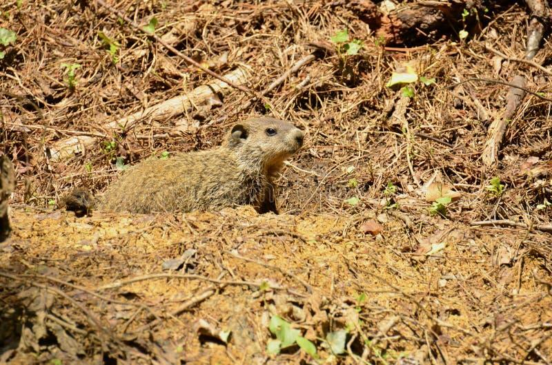 Download Groundhog (marmota monax) zdjęcie stock. Obraz złożonej z target23 - 53782124