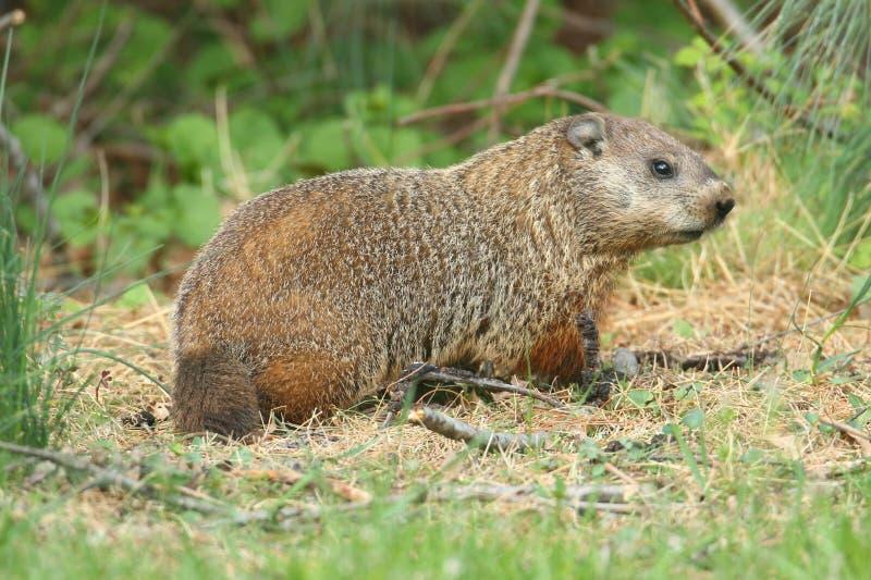 Groundhog (marmota monax) στοκ εικόνες με δικαίωμα ελεύθερης χρήσης