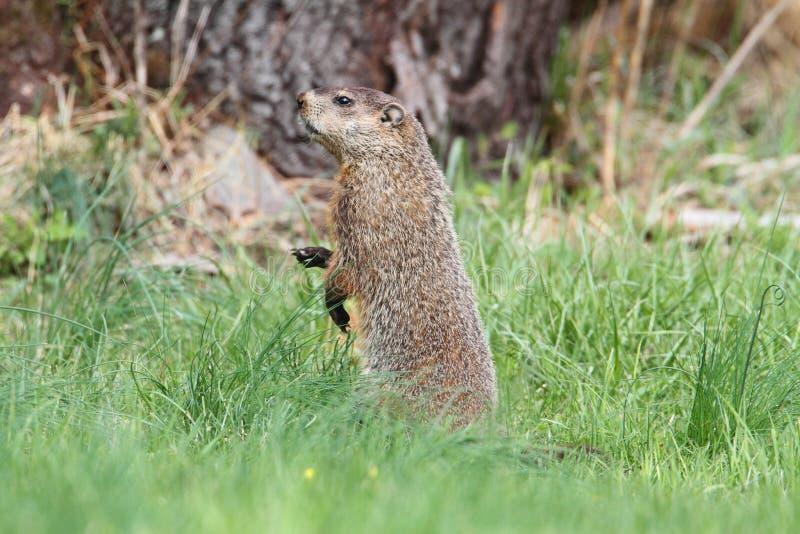 Groundhog (Marmota monax) stock image