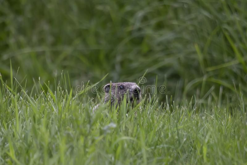 Groundhog Marmota monax on a meadow royalty free stock images