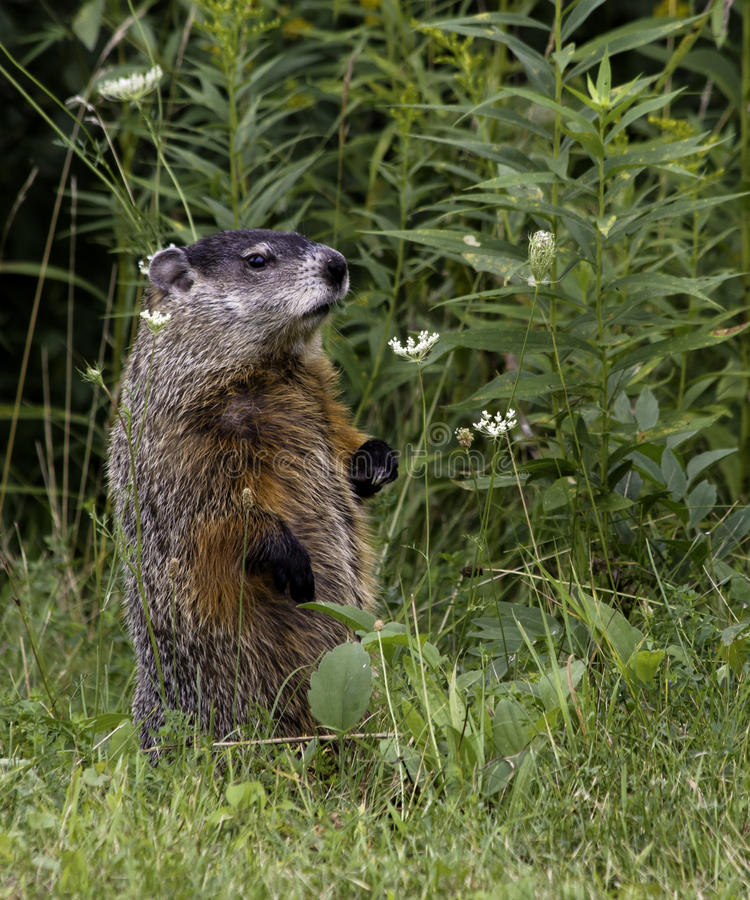 Groundhog (marmota monax) stock photography