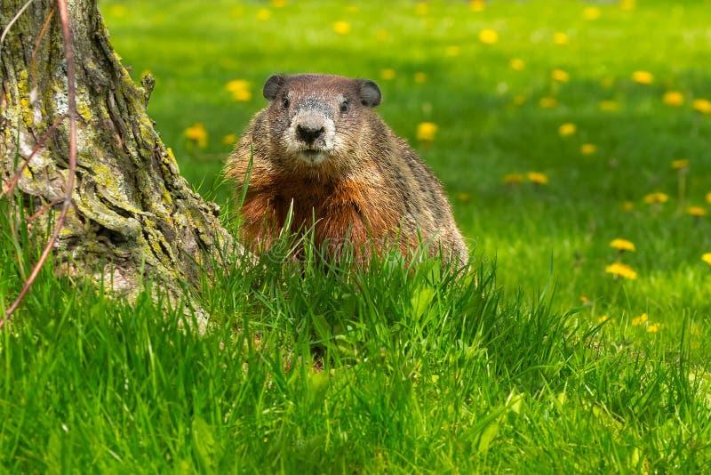 Groundhog - Marmota monax stock image