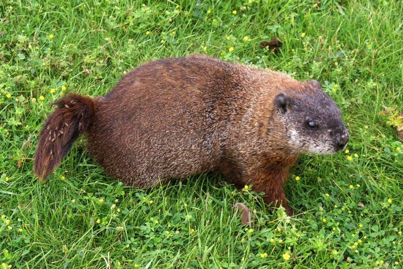 Groundhog (marmotte D Amérique) Photographie stock