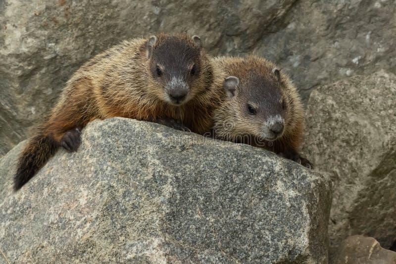 Groundhog - monax do Marmota foto de stock