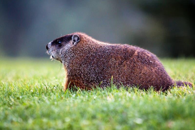 Groundhog op Gazon stock afbeelding