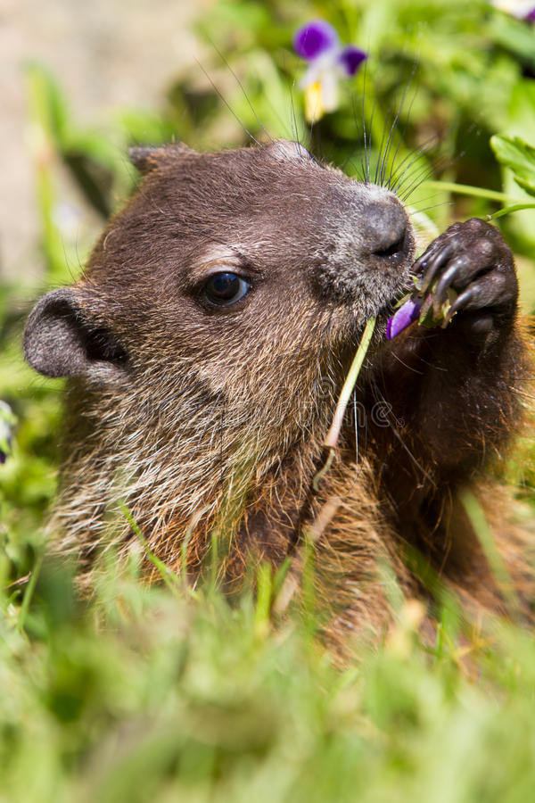 Groundhog portrait. Eating on flowers stock photography