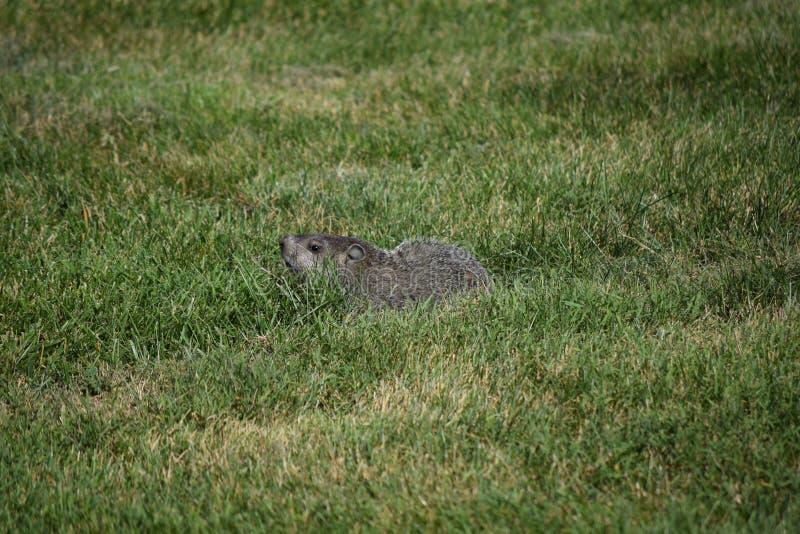 Groundhog que esconde na grama imagens de stock royalty free