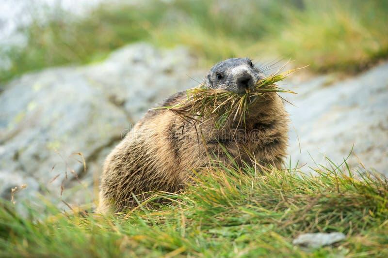 Groundhog que recoge la hierba para construir una jerarquía fotos de archivo