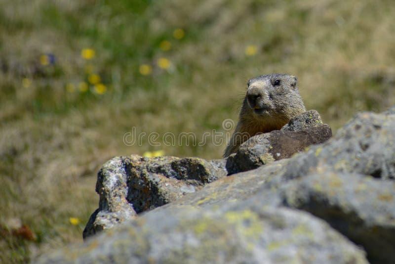 Groundhog que se sienta detrás de una observación de la roca fotos de archivo