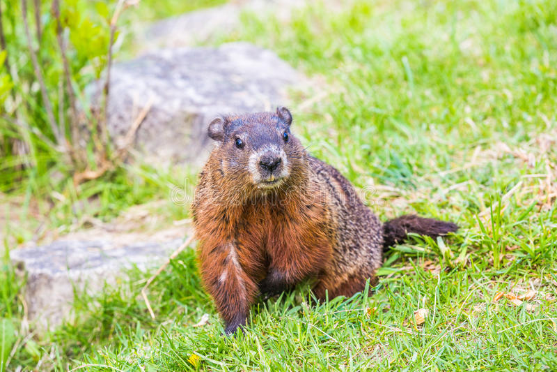 Groundhog - Spring day in Edward Garden stock photos
