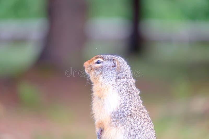 Groundhog royalty free stock photo