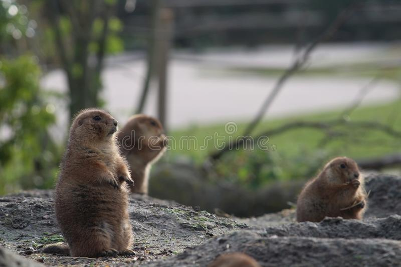 A groundhog on the watch. This annimal is called a groundhog and he is taking care for the other animals group in his habitat. in blijdorp zoo in rotterdam is a royalty free stock photos
