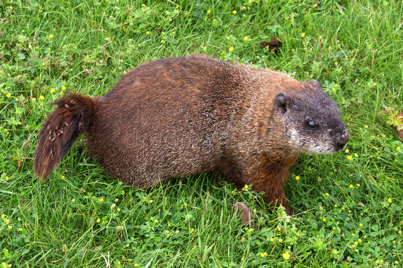 Download Groundhog (Woodchuck) stock photo. Image of whistlepig - 6001602