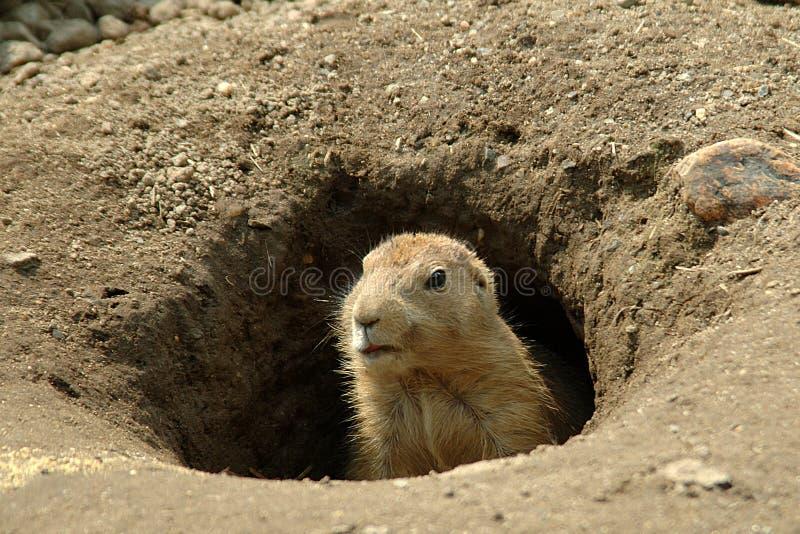 Groundhog in zijn gat royalty-vrije stock afbeeldingen
