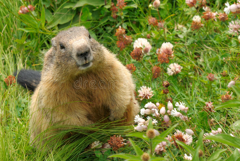 Groundhog in zijn natuurlijke habitat royalty-vrije stock foto's