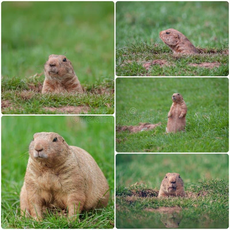 Groundhogs stock photo