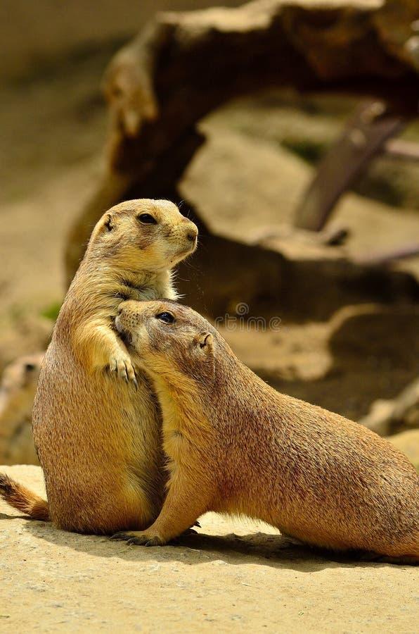 Groundhogs de amor fotos de archivo