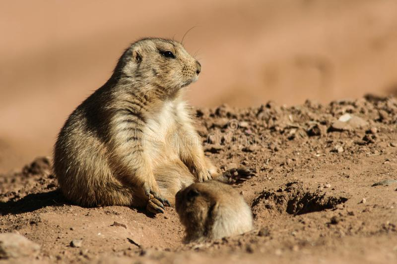 Groundhogs looking for their shadow stock photography
