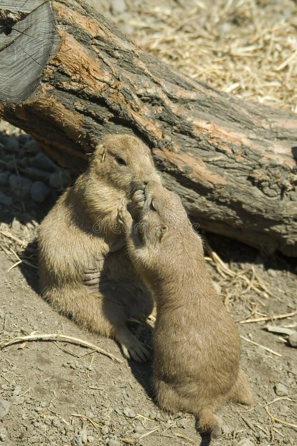 Groundhogs in spring stock image
