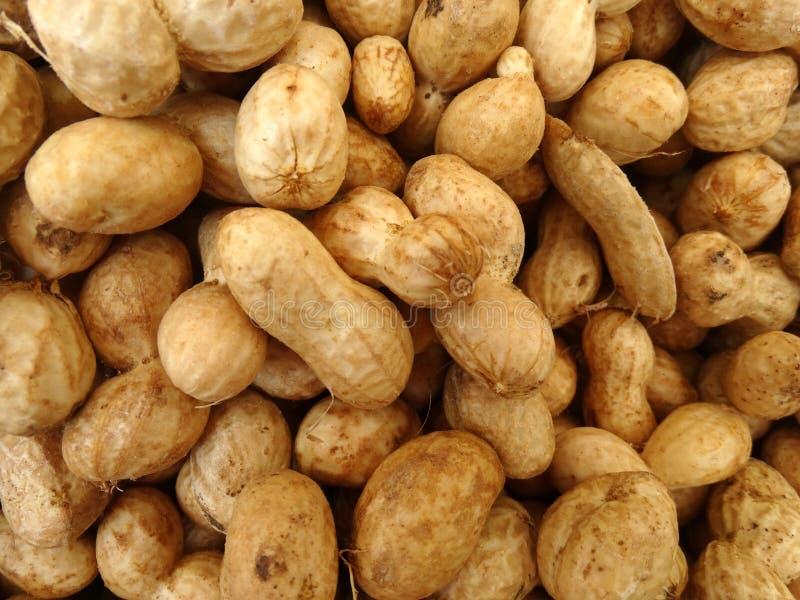 Groundnut, peanut, Arachis hypogaea stock photo