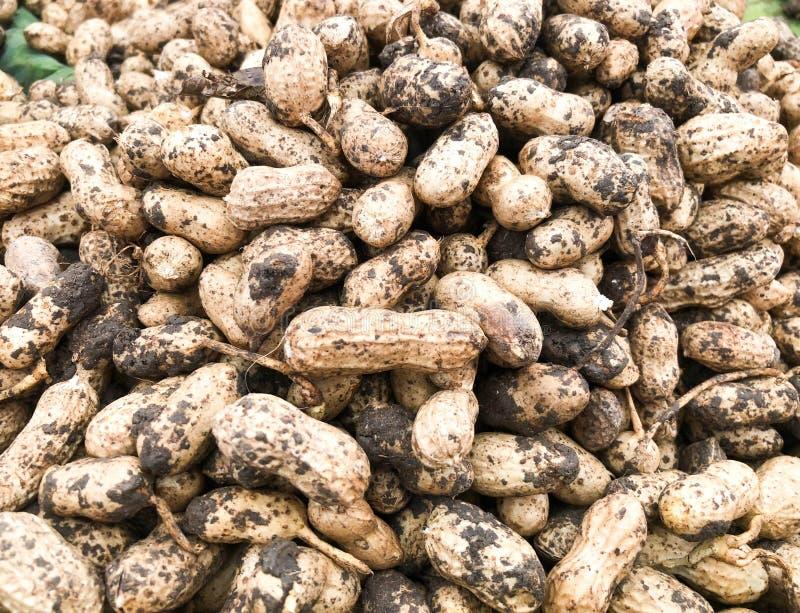 Groundnut peanuts. In Thailand farm stock photos