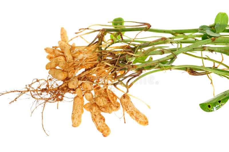 Groundnut Plant. With Roots And Nut Attached royalty free stock photos