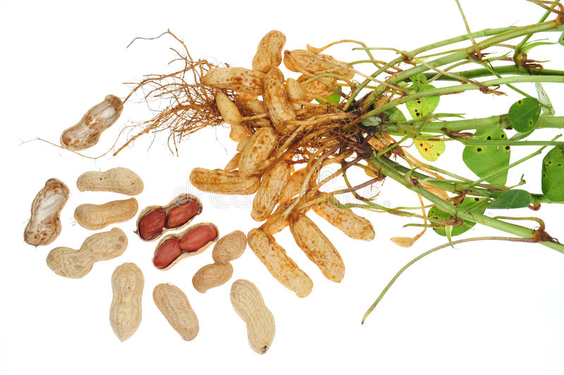 Groundnut Plant. Complete With Roots And Nuts On White Background stock photos