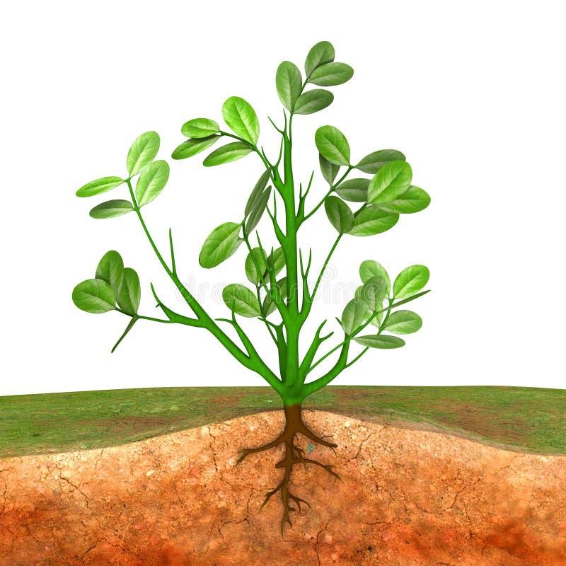 groundnut plant stock illustration illustration of farm 48763718. Black Bedroom Furniture Sets. Home Design Ideas