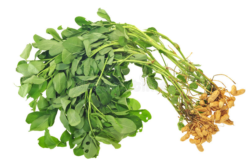 Groundnut Plants. Whole Groundnut Plants With Nuts Attached royalty free stock photos