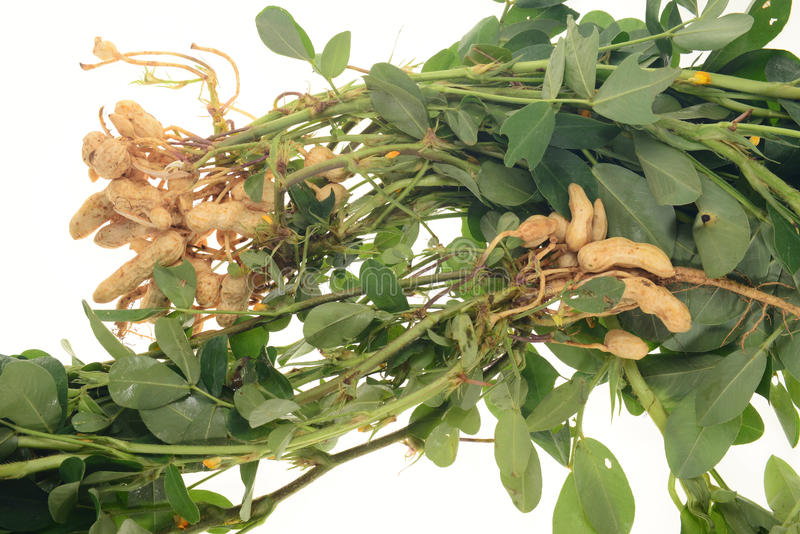 Groundnut Plants. Showing The Nuts Attached To The Roots stock image