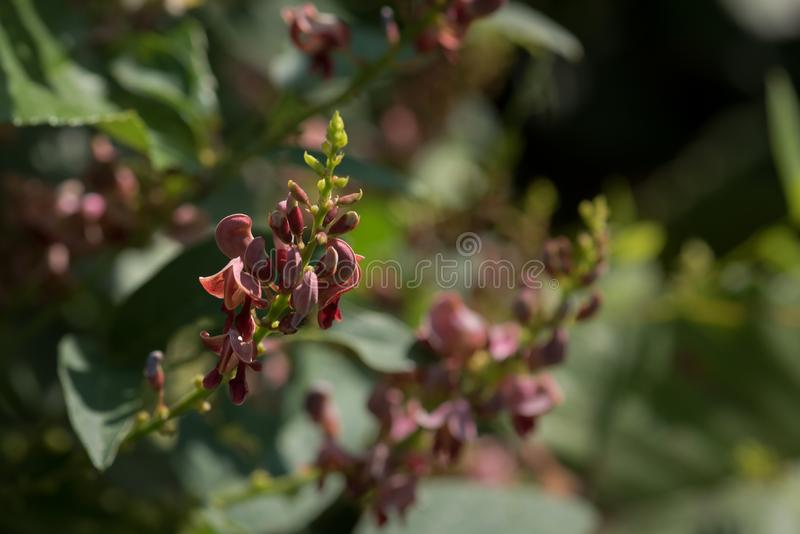 Groundnut Vine Blooms in Early Morning Sun. A group of delicate mauve colored blooms of a groundnut vine are highlighted by the early morning sun. The shallow royalty free stock photo