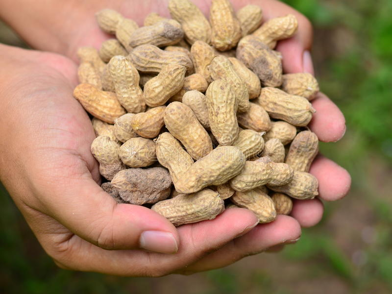 Groundnuts on farmer hand. Close up of groundnuts on farmer hand royalty free stock photos