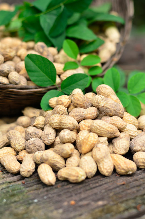 Groundnuts on wood table. Harvest of groundnuts on wood table royalty free stock image