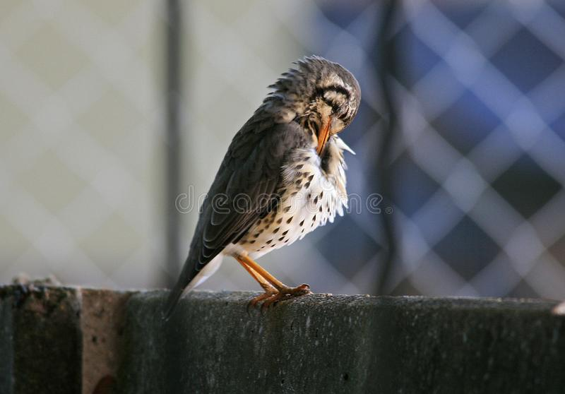 GROUNDSCRAPER THRUSH ON A WALL PREENING FEATHERS stock images