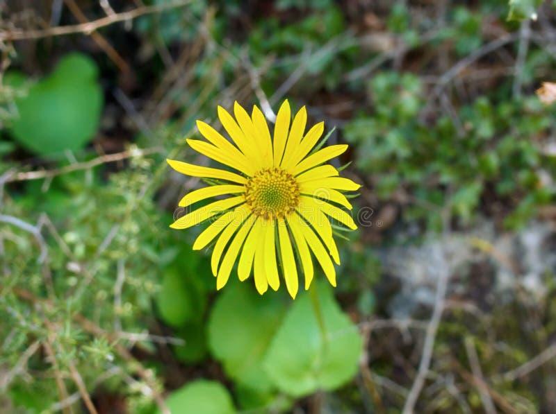 Groundsel (Senecio) kwiat jasno żółty obrazy royalty free