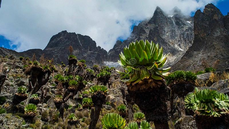 Groundsels gigante Dendrosenecio Kilimanjari imagen de archivo