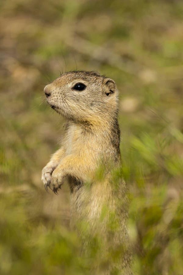 Groundsquirrel de Belding image stock