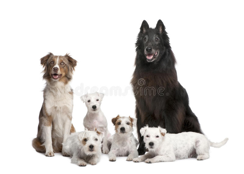 Group of 5 dogs. 4 Parson Russell Terrier, a Australian Shepherd and a mixed-breed in front of a white background stock photo