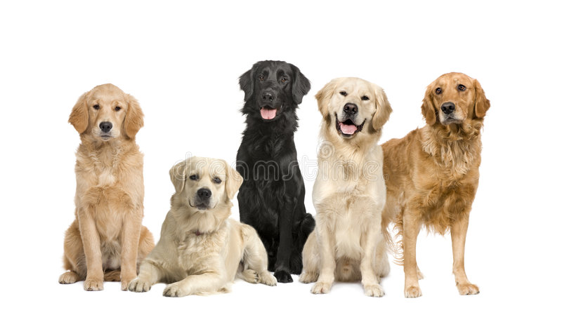 Download Group Of 5 Golden Retriever And Labrador Facing Th Stock Image - Image: 8497097