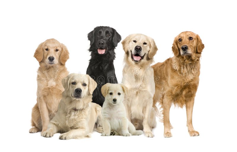 Group of 6 golden retriever and labrador facing th royalty free stock images